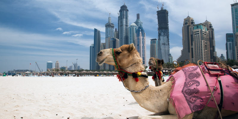 Camel on the beach in Dubai