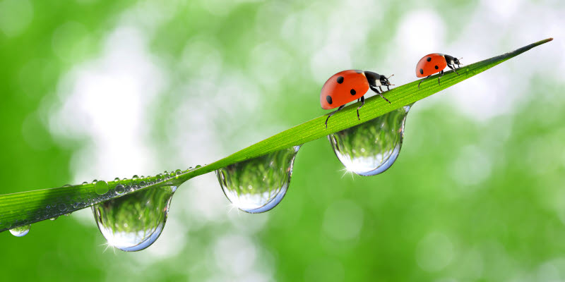 Ladybirds on a blade of grass with water droplets